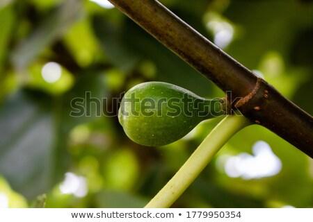 Młodych zielone owoców figa oddziału Zdjęcia stock © simazoran
