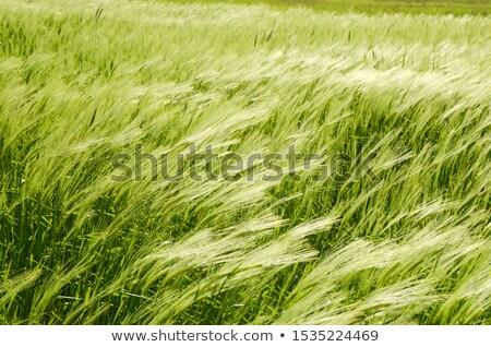 Gerste Wind Natur Sommer Bauernhof Weizen Stock foto © chrisroll