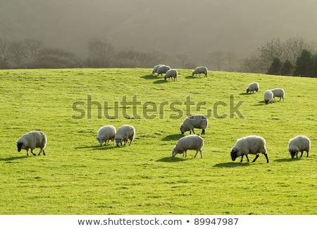 sheep grazing in a lush green grass field in wales uk stock photo © latent