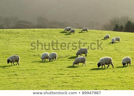 schapen · weelderig · groen · gras · veld · wales - stockfoto © latent