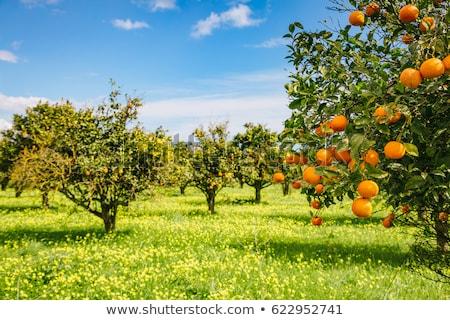 Paisagem árvores laranja verde árvore madeira Foto stock © mariephoto