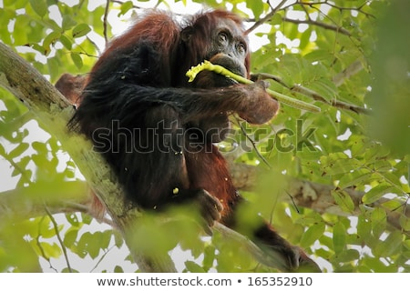 Monkey ape eating the seeds Stock photo © kawing921