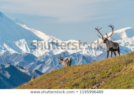 Siluet geyik beyaz hayvan çizim ikon Stok fotoğraf © perysty