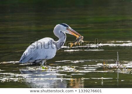 Heron Catches a Fish Stock photo © Gordo25