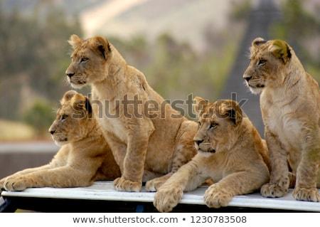 lion cub roaring stock photo © tanart