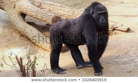 Gorilla portret vergadering gras dierentuin Stockfoto © bradleyvdw