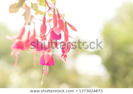Fuchsia Bloom in High Key Stock photo © rogerashford