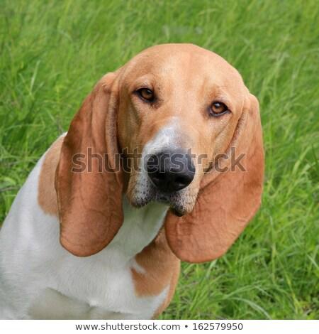 Foto stock: Detalle · sabueso · típico · perro · hierba · jardín