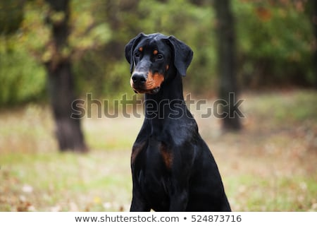 Portrait of Dobermann  stock photo © CaptureLight