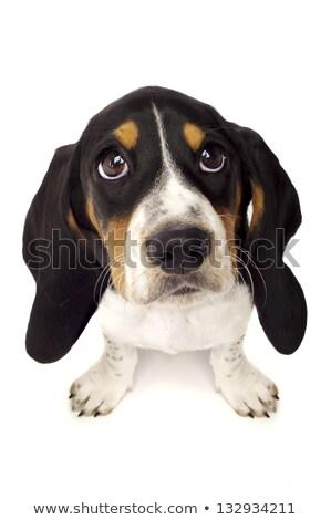 basset hound sad eyes dog on white background stock photo © chilliproductions