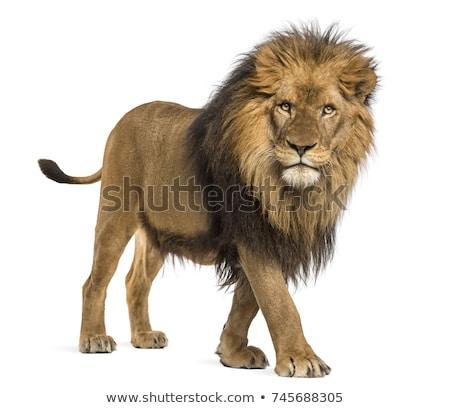 oroszlán · izolált · fehér · állat - stock fotó © Donvanstaden