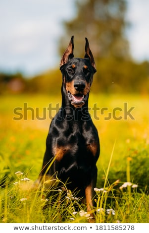 Purebred dobermann dog Stock photo © bigandt