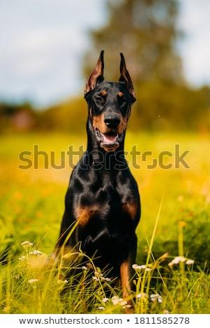 purebred dobermann dog stock photo © bigandt