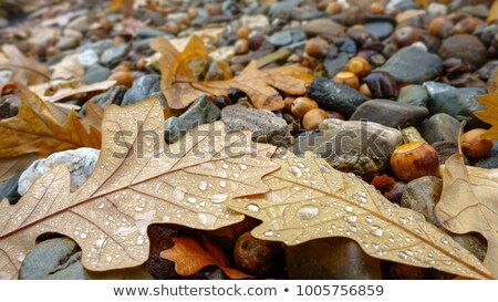 Fallen leaves after the rain Stock photo © jenbray