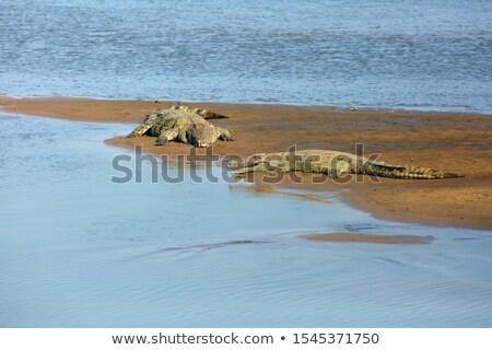 Kettő krokodilok folyó bank fotó Berlin Stock fotó © Hochwander