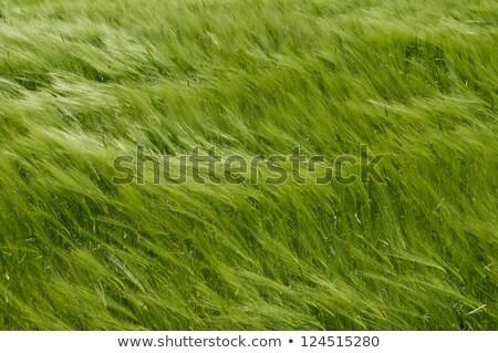 grass and  wind stock photo © trala