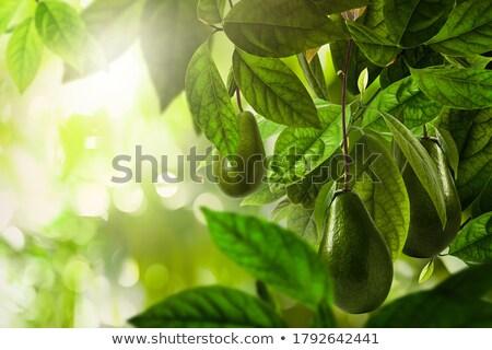 Abacate árvore fruta tropical fruto campo planta Foto stock © karammiri