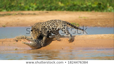 Leopard arbre nature réserve Afrique du Sud Photo stock © EcoPic