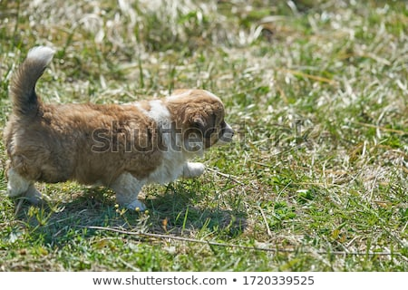 beagle puppies on grass stock photo © maros_b