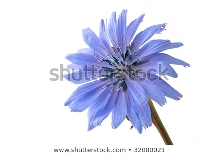 pale blue chicory flower with copy space stock photo © sarahdoow