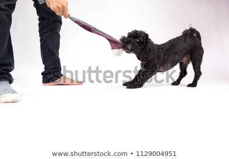 puppy tugging on sock stock photo © iofoto