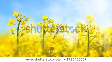 Stock photo: Flowering oilseed rape