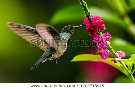 hummingbird with flower stock photo © iconify