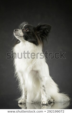 cute papillon sitting and looking up in dark photo studio stock photo © vauvau