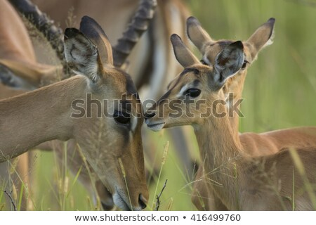Baby Impala in the Kruger National Park, South Africa. Stock photo © simoneeman