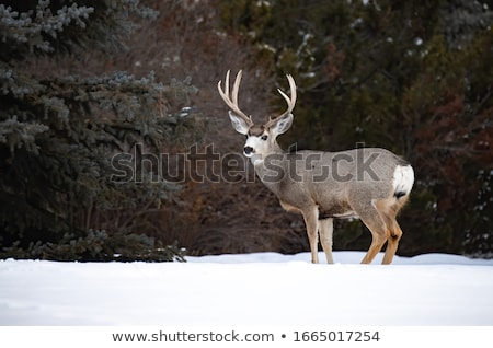 Mule Deer buck in an Alberta field Stock photo © pictureguy