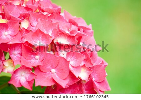 Hydrangea in splendid red bloom Stock photo © Klinker