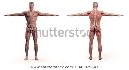 Stock photo: Male Torso Front and Back with Muscles and Organs