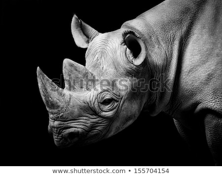 Black Rhino Head Details. Stock photo © yhelfman