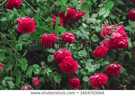 Red roses in the bush Stock photo © colematt