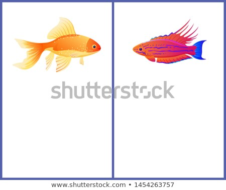 Filamented Flasher Wrasse and Gold Fish Posters Stock photo © robuart