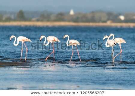 Flamingos at Ria de Aveiro delta Stock photo © homydesign