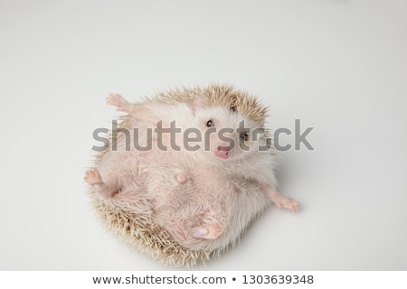 adorable grey hedgehog lying on its back wants to play stock photo © feedough