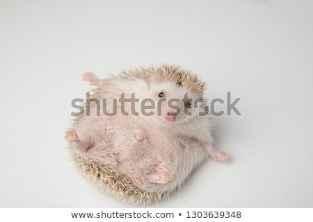 Imádnivaló szürke sündisznó hát játék fehér Stock fotó © feedough