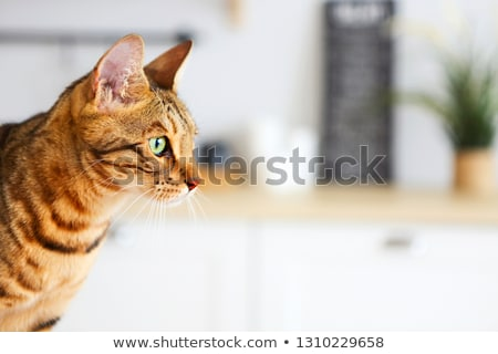 Bengal cat on white background sits sideways, looks aside. Stock photo © dashapetrenko