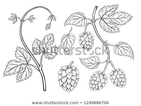 Hand drawn Hops set Stock photo © frescomovie