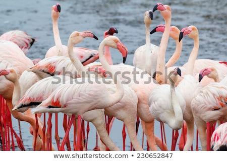 Rózsás flamingó gyarmat Namíbia madár etetés Stock fotó © artush