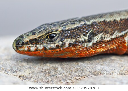 common wall lizard, male in mating season Stock photo © taviphoto