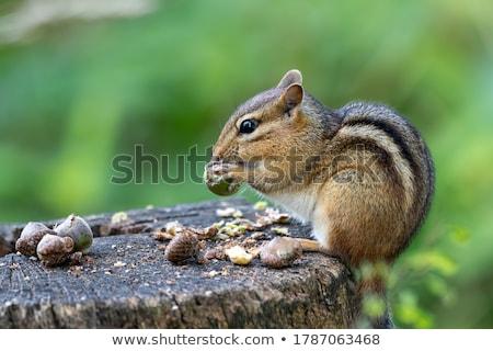 çizgili sincap bakıyor gıda doğa hayvan sevimli Stok fotoğraf © brm1949