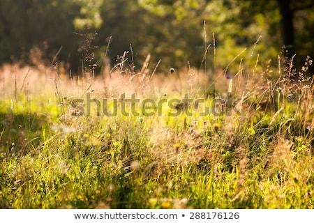 Alpine bomen Oostenrijk alpen gras Stockfoto © AndreyPopov