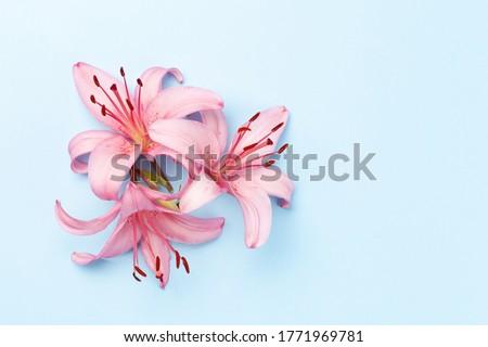 Rosa Lily flores azul superior vista Foto stock © karandaev