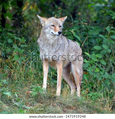 Prairie Coyote Stock photo © pictureguy