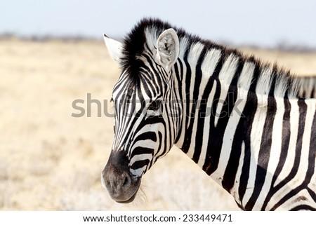 Portrait Of A Burchells Zebra Zdjęcia stock © Artush