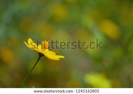 Single Yellow Flower (Heliopsis helianthoides) against Blue Sky Stock photo © tainasohlman