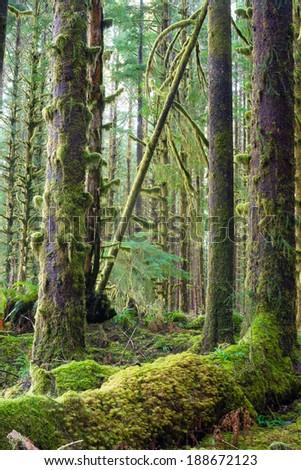 Cedar Trees Deep Forest Green Moss Covered Growth Hoh Rainforest Stock photo © cboswell