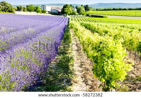 Campo de lavanda vinha departamento flor natureza campo Foto stock © phbcz